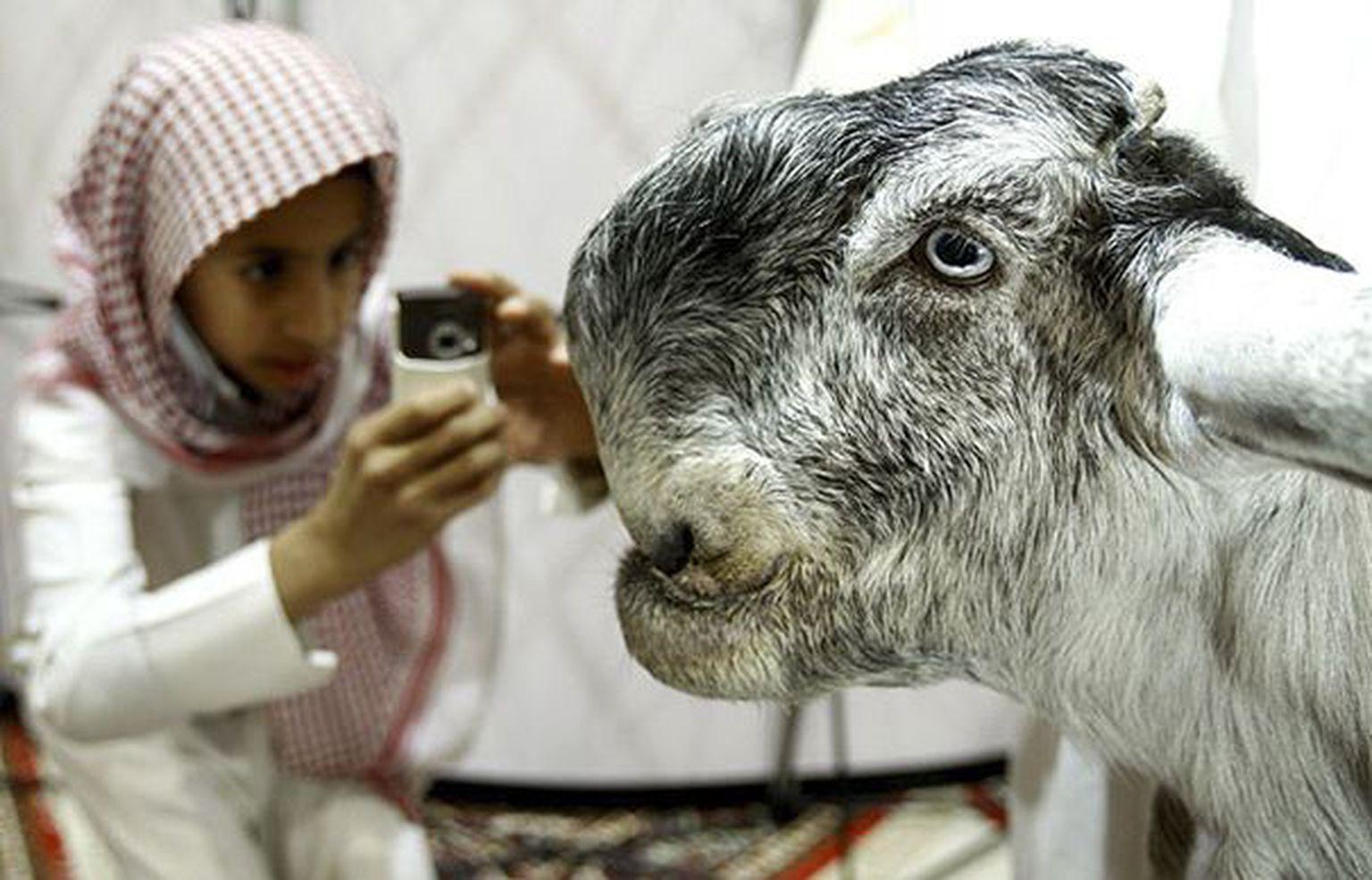 Порода шами